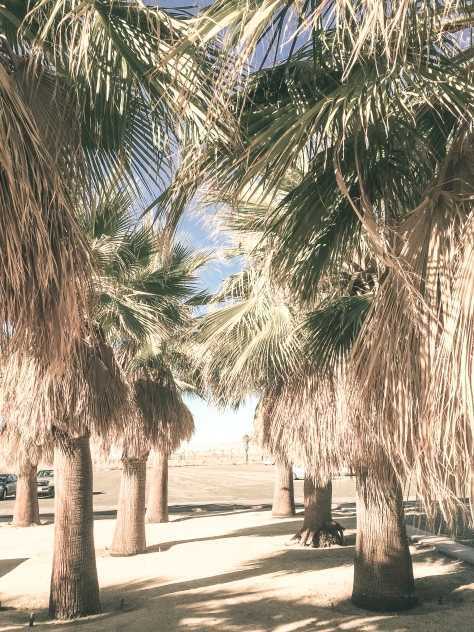 Salton sea palm trees